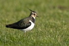 Lapwing by Romano da Costa