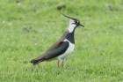 Lapwing by Mick Dryden