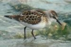 Little Stint by Romano da Costa