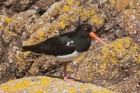 Oystercatcher by Mick Dryden