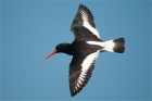 Oystercatcher by Romano da Costa