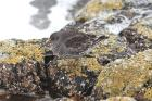 Purple Sandpiper by Mick Dryden