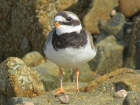 Ringed Plover by Alan Gicquel