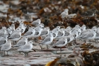 Sanderlings by Tony Paintin