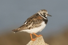 Turnstone by Mick Dryden