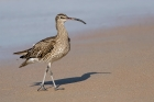 Whimbrel by Romano da Costa