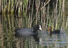 Coot with young by Vikki Robertson
