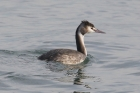Great Crested Grebe by Mick Dryden