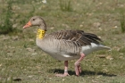 Greylag Goose by Mick Dryden