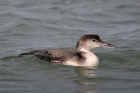 Great Northern Diver by Romano da Costa