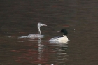 Goosander and Great Crested Grebe by Mick Dryden