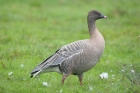 Pink-footed Goose by Romano da Costa