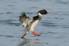 Red breasted Merganser by Mick Dryden