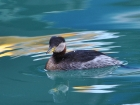 Red-necked Grebe by Alan Gicquel