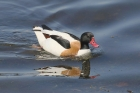 Shelduck by Mick Dryden