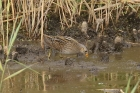 Spotted Crake by Mick Dryden