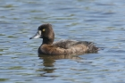 Tufted Duck by Mick Dryden