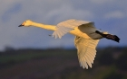 Whooper Swan by Tony Wright