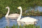 Whooper Swans by Mick Dryden