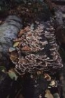Many zoned Polypore by Richard Perchard