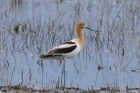 American Avocet by Mick Dryden