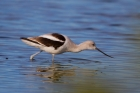 American Avocet by Miranda Collett