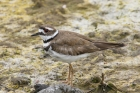 Killdeer by Mick Dryden