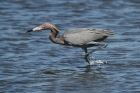 Reddish Egret by Mick Dryden