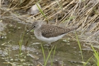 Solitary Sandpiper by Mick Dryden