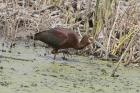 White-faced Ibis by Mick Dryden