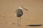 Willet by Mick Dryden