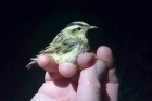 Aquatic Warbler by Cristina Sellares