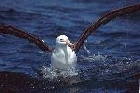 Black browed Albatross by David Nuth
