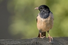 Rose coloured Starling by Romano da Costa