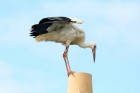 White Stork by Tony Paintin