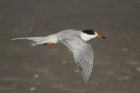 Forster's Tern by Mick Dryden
