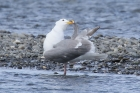 Glaucous-winged Gull by Mick Dryden