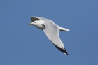 Ring billed Gull by Mick Dryden