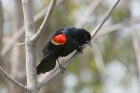 Red winged Blackbird by Mick Dryden