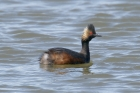 Black-necked Grebe by Mick Dryden
