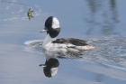 Bufflehead by Mick Dryden