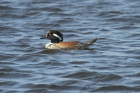 Hooded Merganser by Mick Dryden