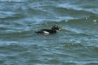 White-winged Scoter by Mick Dryden