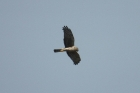 Northern Harrier by Mick Dryden