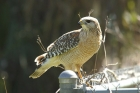 Red-shouldered Hawk by Mick Dryden