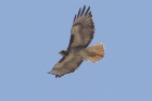 Red-tailed Hawk by Mick Dryden