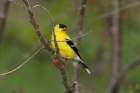 American Goldfinch by Mick Dryden