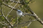Blue grey Gnatcatcher by Mick Dryden