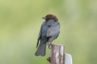 Brown-headed Cowbird by Mick Dryden