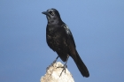 Boat-tailed Grackle by Mick Dryden